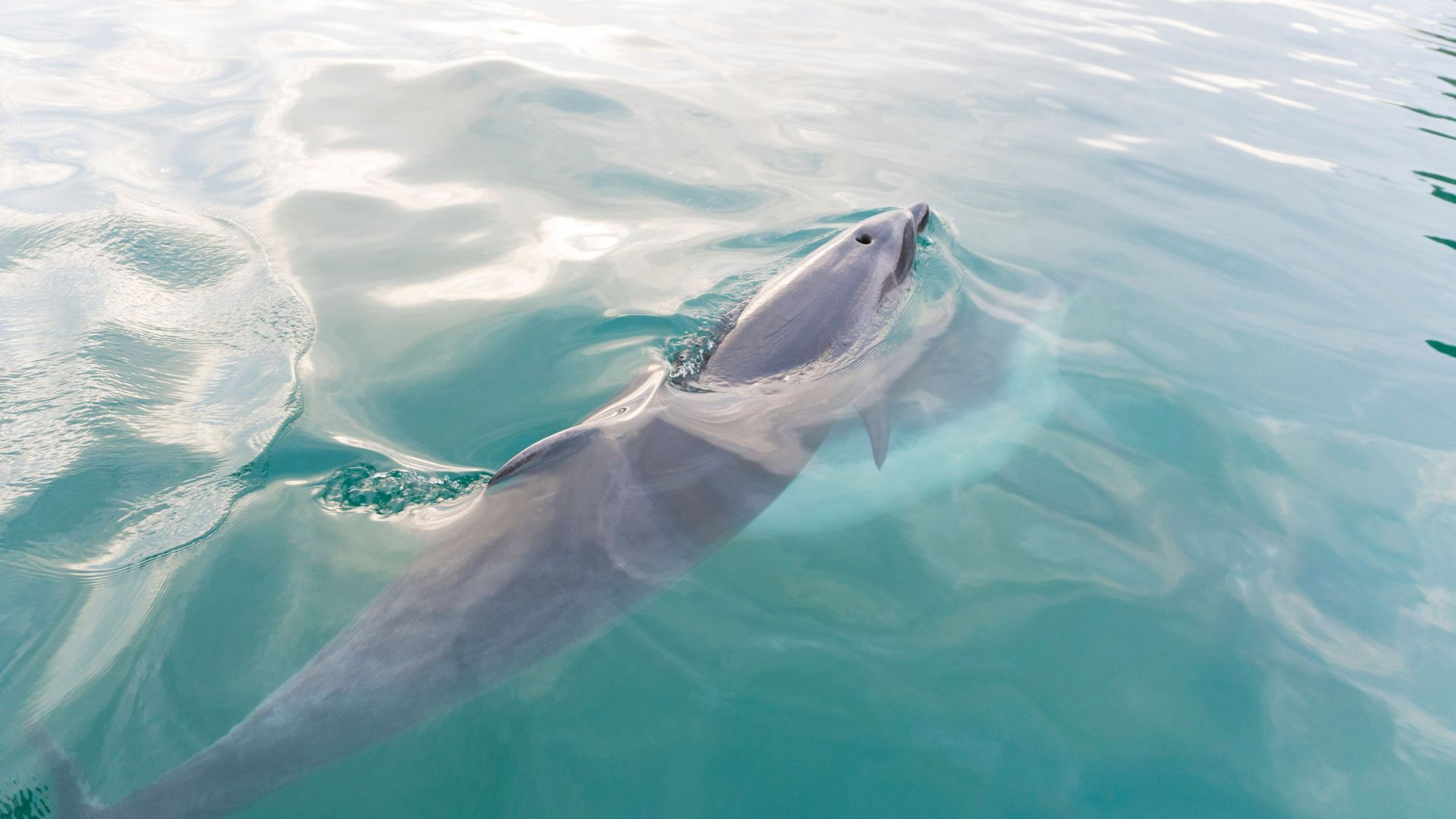bottlenose dolphin swimming