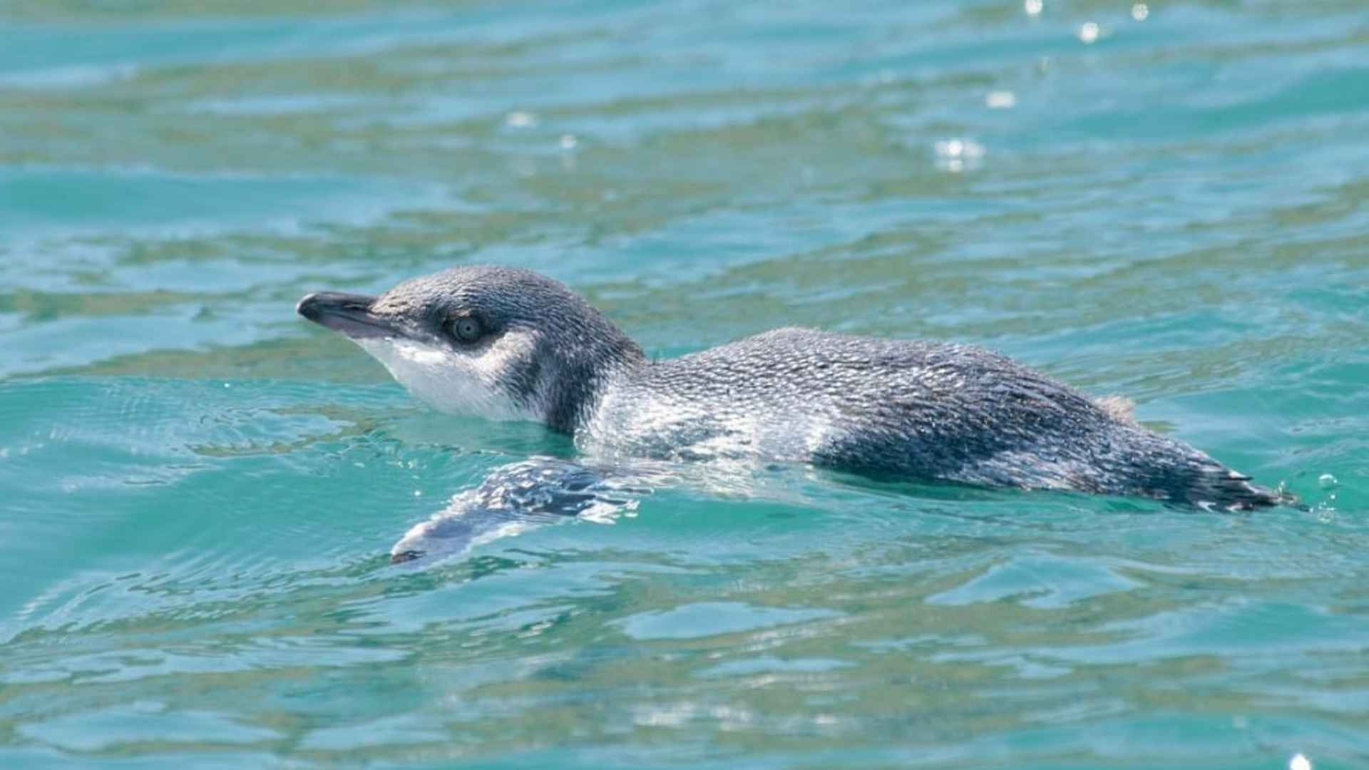 Little Blue Penguin or Korora swimming in the Bay of Islands