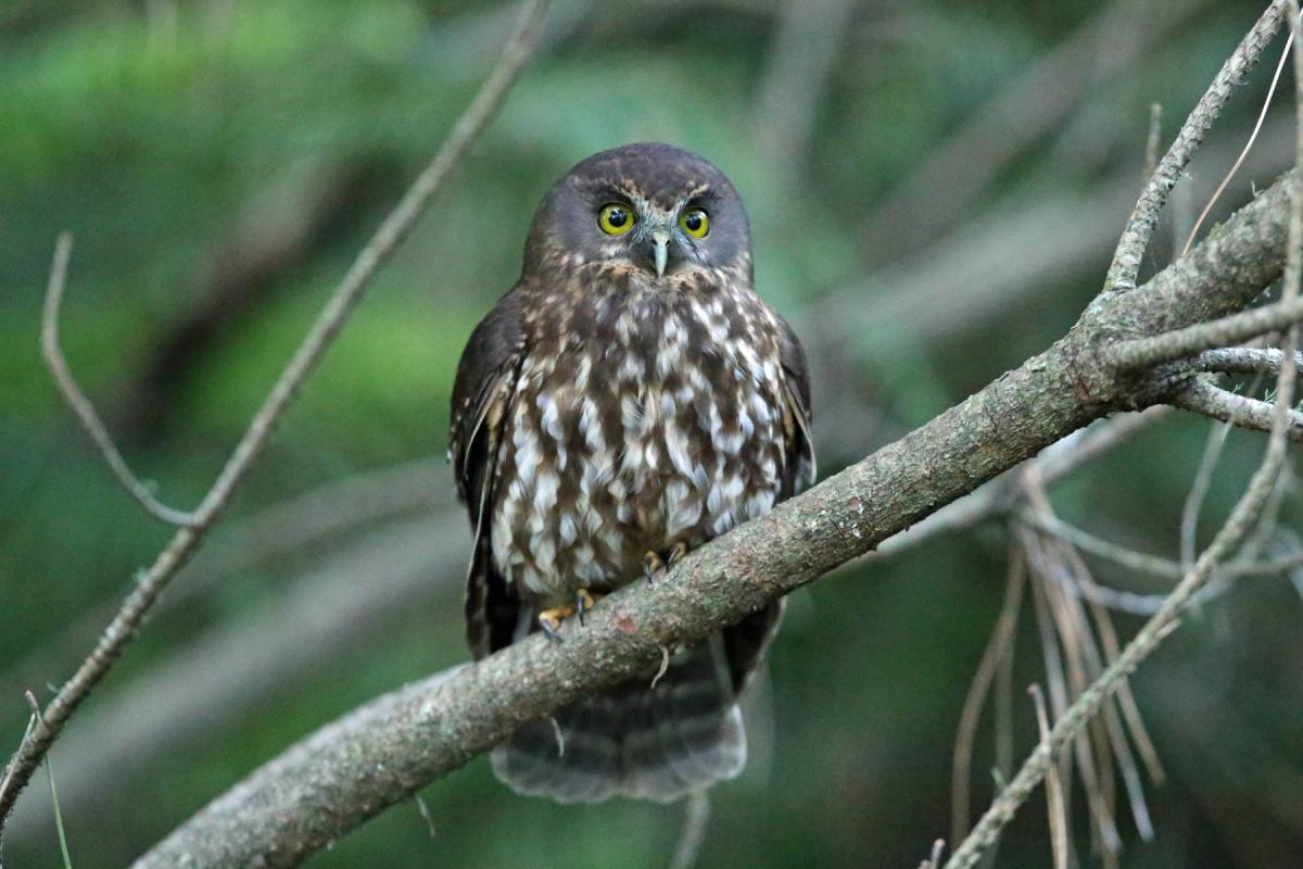 morepork perching on a tree in the bay of islands