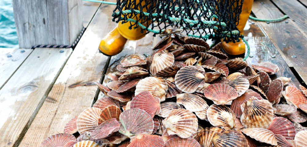 Fresh scallops in the Bay of Islands New Zealand