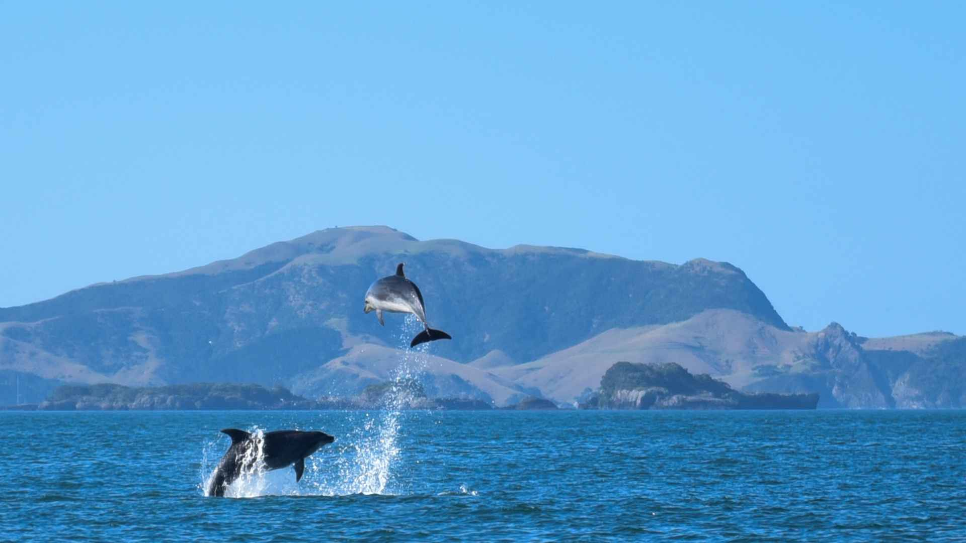 watching two dolphins in the bay of islands